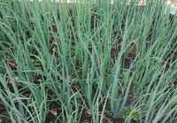 Scallions_bunch