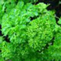 Parsley_-_curly