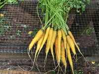 Carrots_-_gold_nugget