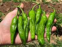 Peppers_-_shishitos
